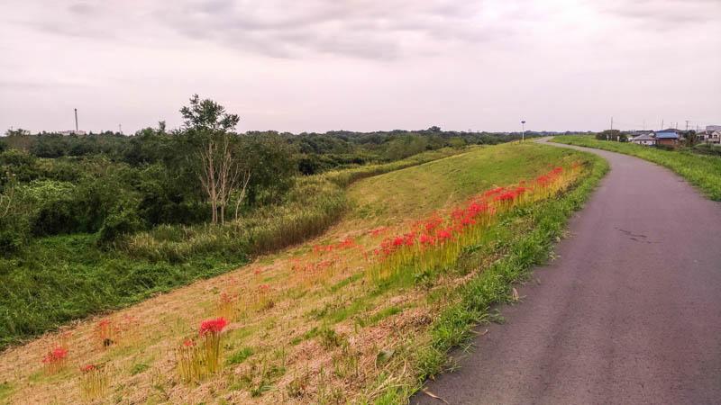 入間川サイクリングロードの土手に咲くヒガンバナ